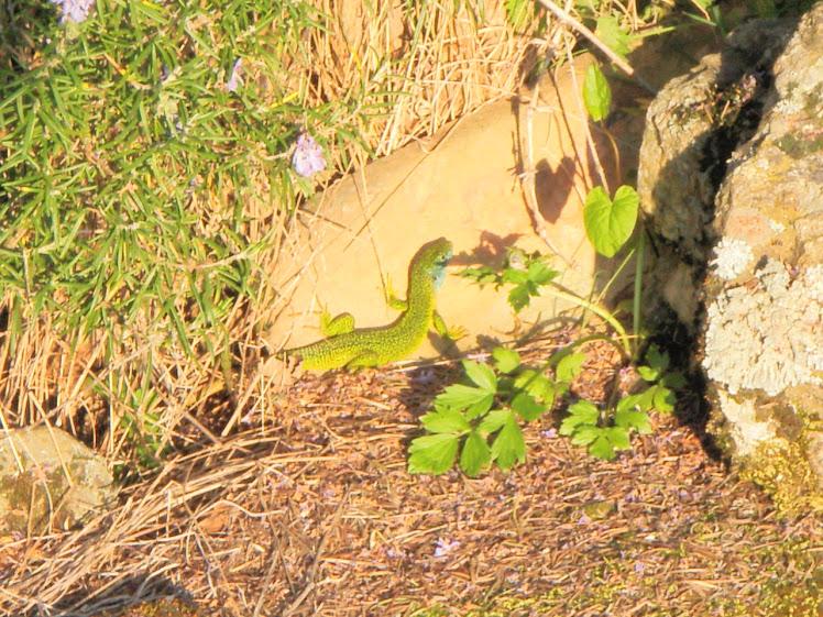 lézards verts au Lac des  Meinettes