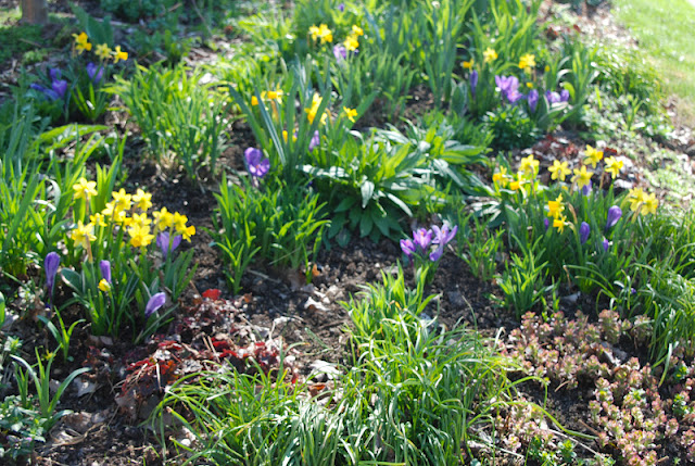 Narcissus 'Tete-a-tete' and Crocus 'Grand Maitre' in Cherry Corner, along with Heuchera 'Palace Purple' and fresh daylily foliage.