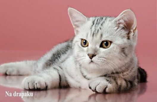 Srebrzyste koty