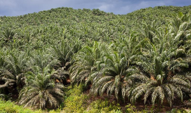 perkebunan sawit, perkebunan kelapa sawit, kebun sawit, kebun kelapa sawit, budidaya tanaman kelapa sawit