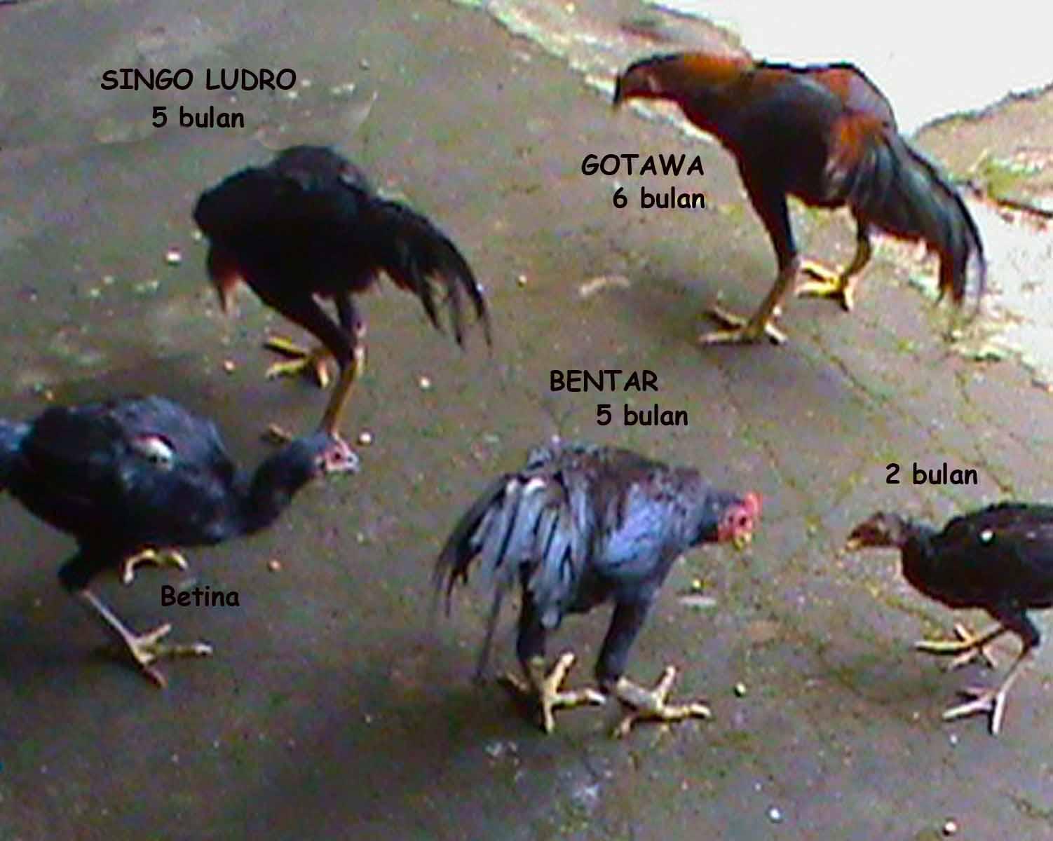 Di jual Ayam Bangkok Bibit (Good Quality)