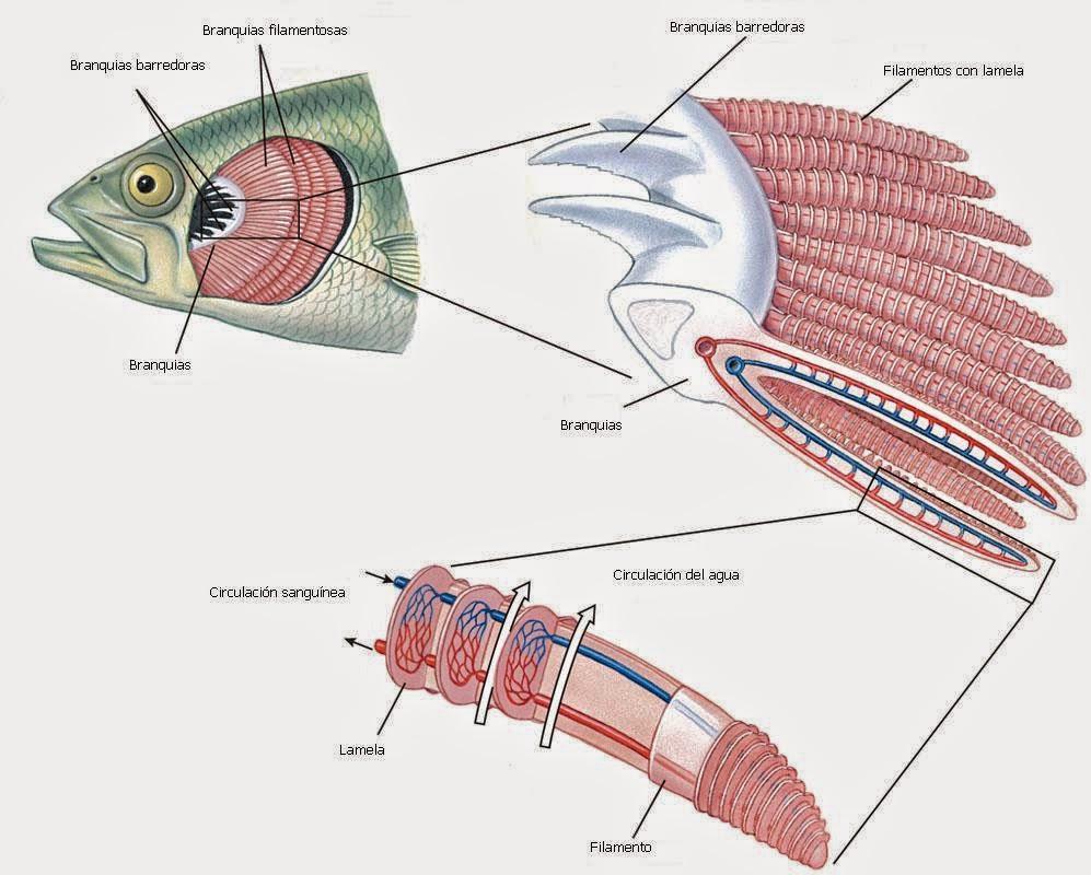 MUNDO ACUARIO: Morfología de los peces