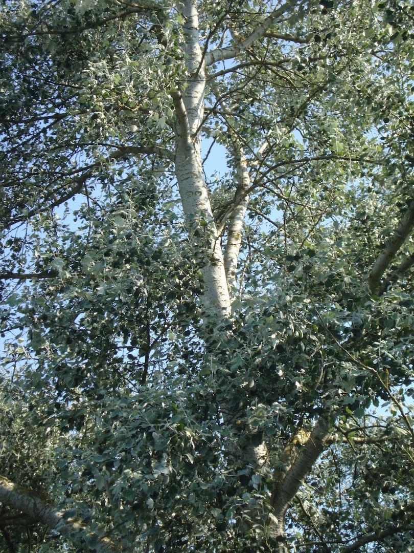 White Poplar Tree Leaf Art Design Land...