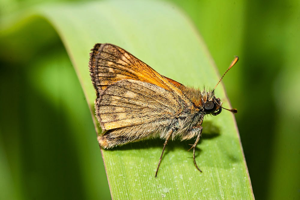 Large Skipper - Manor Farm, Milton Keynes (2013)