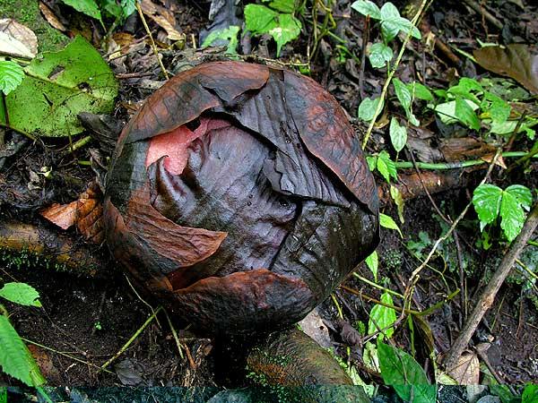 Saucykodz Blog Rafflesia