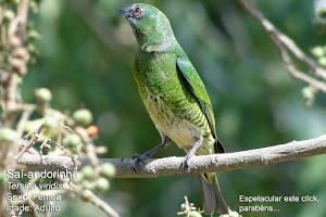 Saí-andorinha - Fêmea - Adulto -Tersina viridis