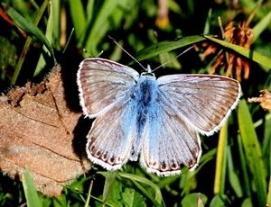 Chalkhill Blue