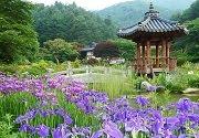 เทศกาลดอกไอริส ที่สวน The Garden of Morning Calm