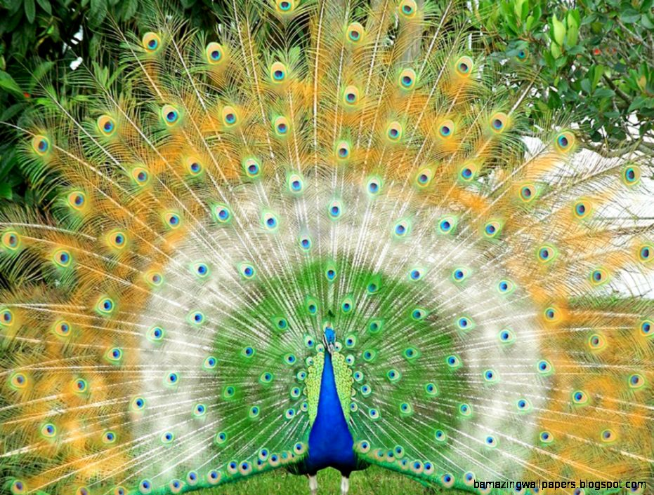 white peacock wallpaper hd amazing wallpapers