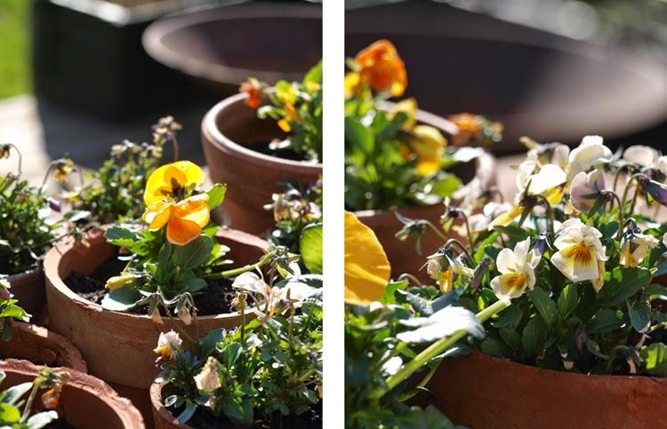 Hornvioler og stedmoderblomster i orange farver