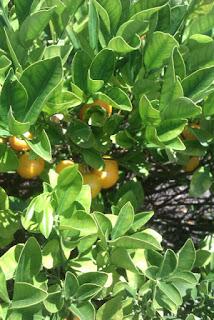 kumquat cumquat jam lavender tree