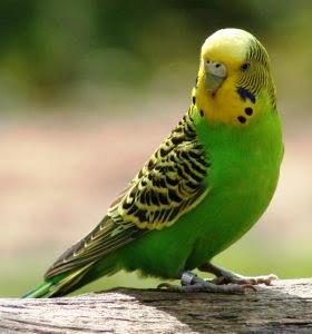 Cara Ternak Burung Parkit, Tips Ternak Burung Parkit, Cara Beternak Burung Parkit, Tips Beternak Burung Parkit