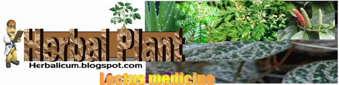 Herbal plant (Lectus medicine)