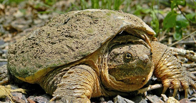seven essential functions and comparisons of snapping turtles biology essay Transactions of the kansas academy of science • distribution of the alligator snapping turtle ( macroclemys department of epo biology, university of.