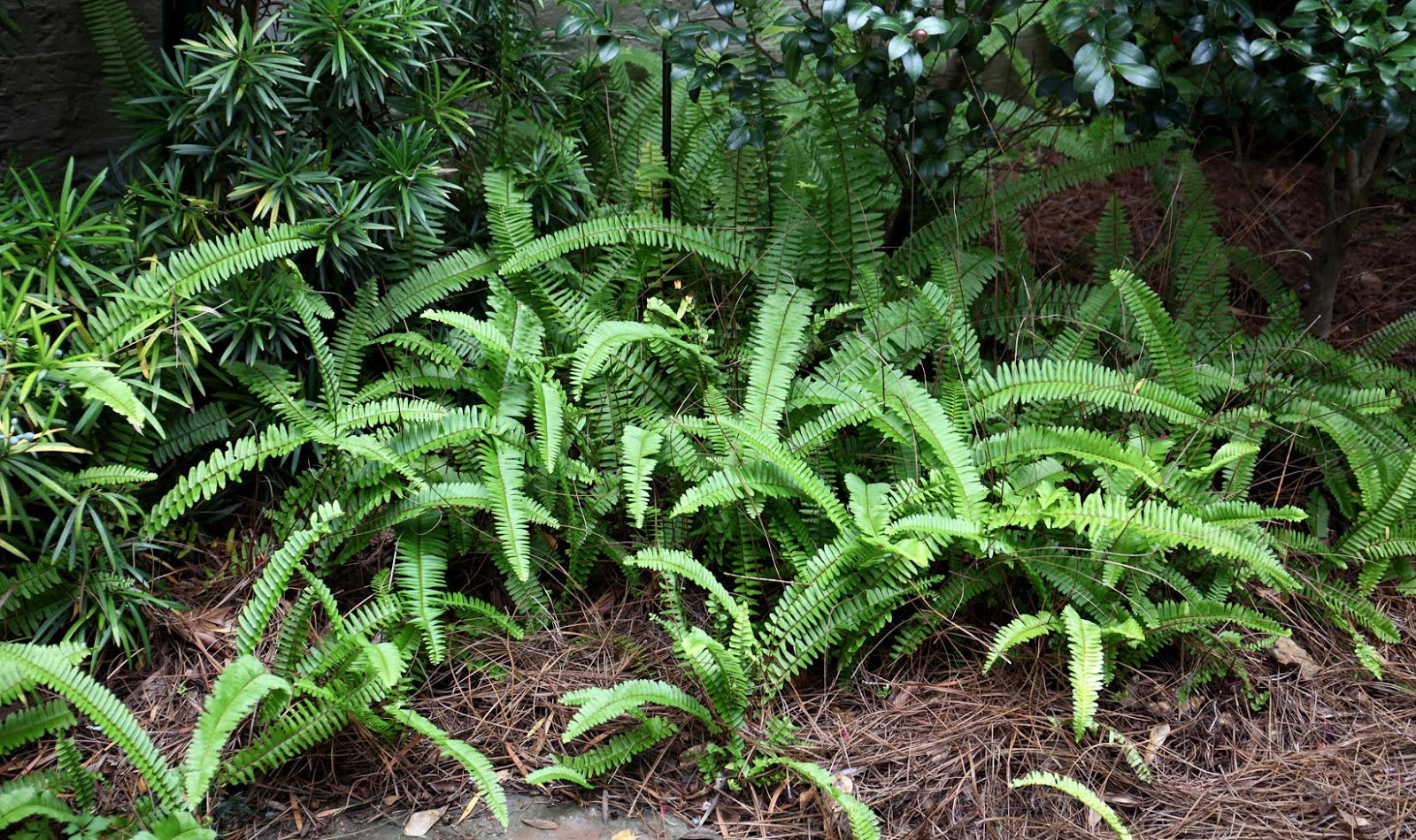 Landscaping With Ferns : Southern lagniappe ferns a cool landscaping plant