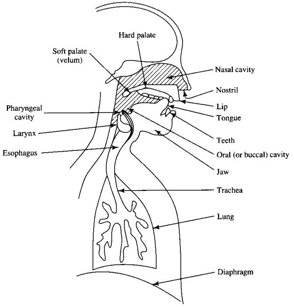 speech organs Speech organs and their functions pdf all sounds are made with some movements of air the basic source of power is the lungsall the organs of speech shown in figure 1 have primary.