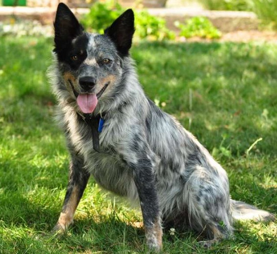 Training Your Australian Cattle Dog To Listen You