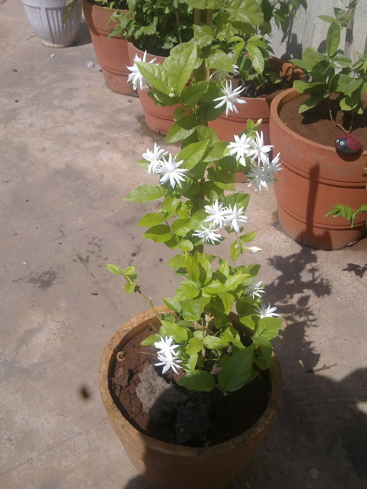 plants growing in my potted garden my belle of india. Black Bedroom Furniture Sets. Home Design Ideas