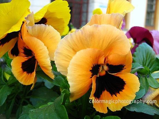 Orange pansies-closeup