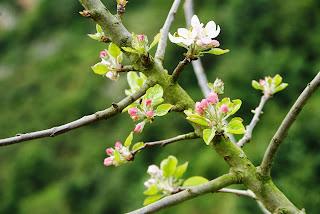 Asturias, manzano en flor