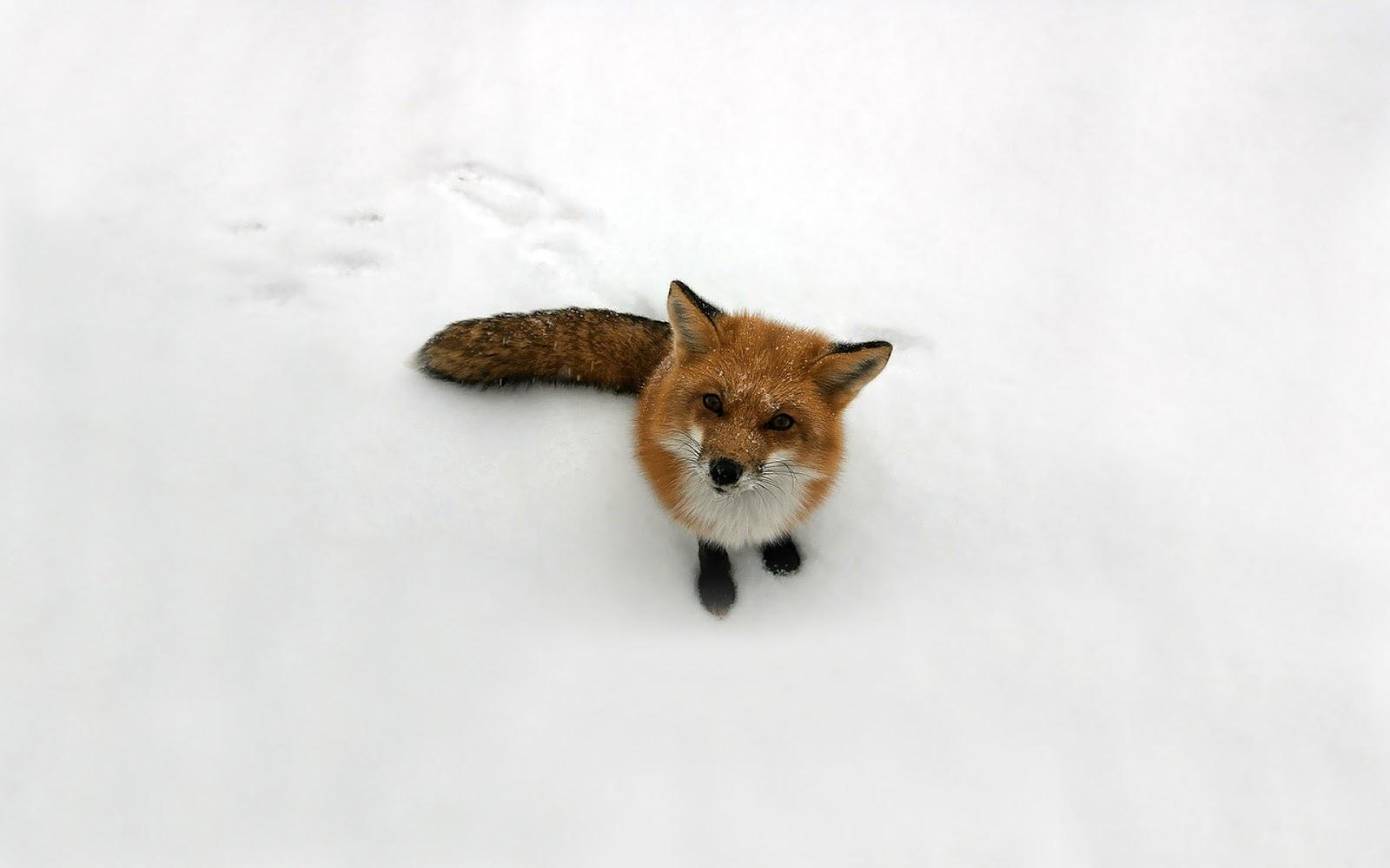 http://3.bp.blogspot.com/-PVNF2HgGzjc/US4a0dijTsI/AAAAAAAAHlU/JX9mG1h4Q5I/s1600/Red-Fox-Wallpaper+04.jpg