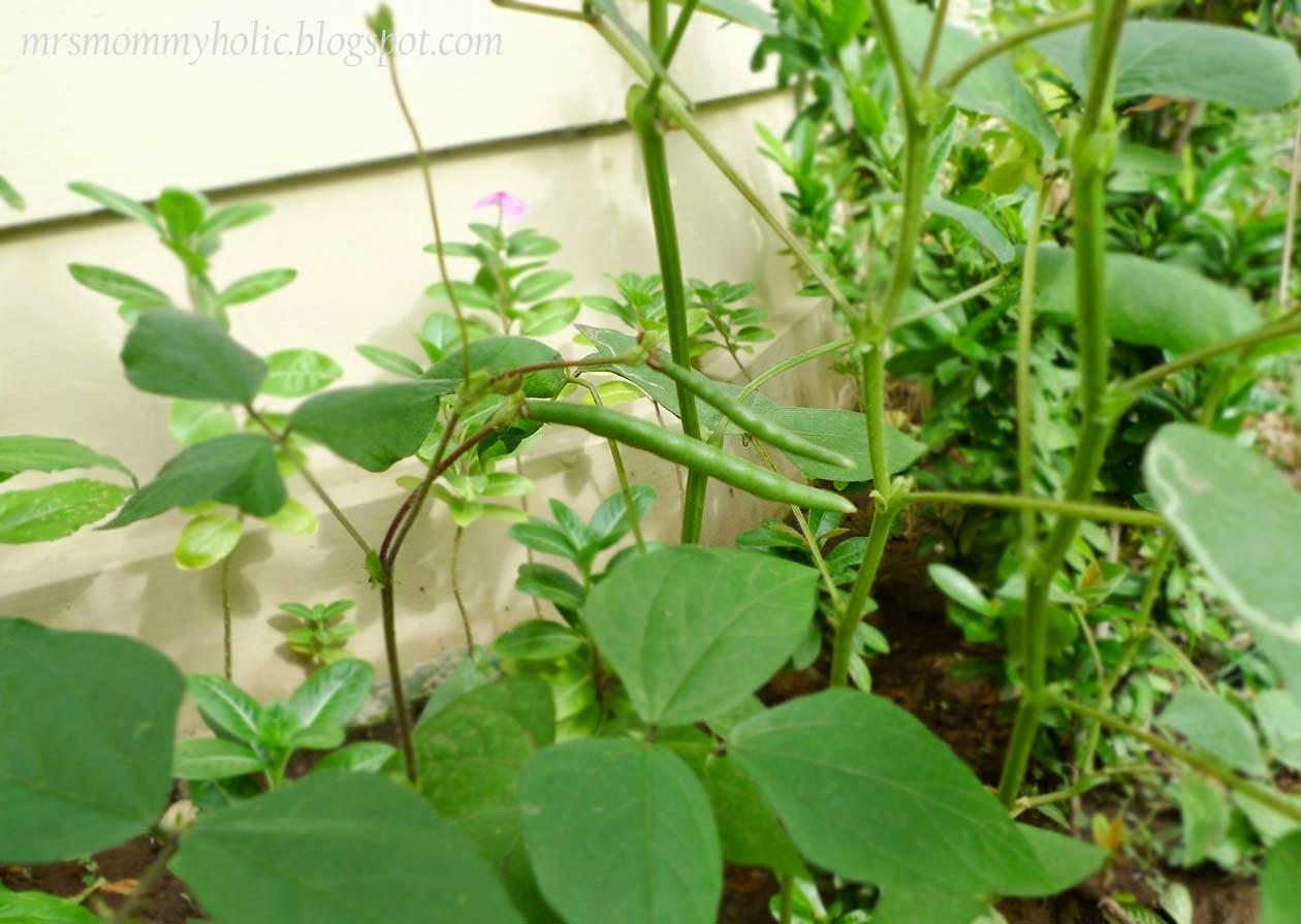 how to grow monggo seed