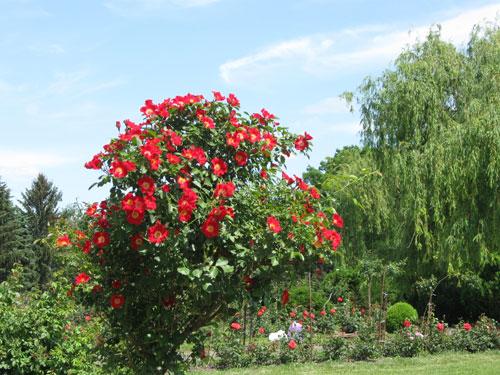 Punainen varrellinen ruusu
