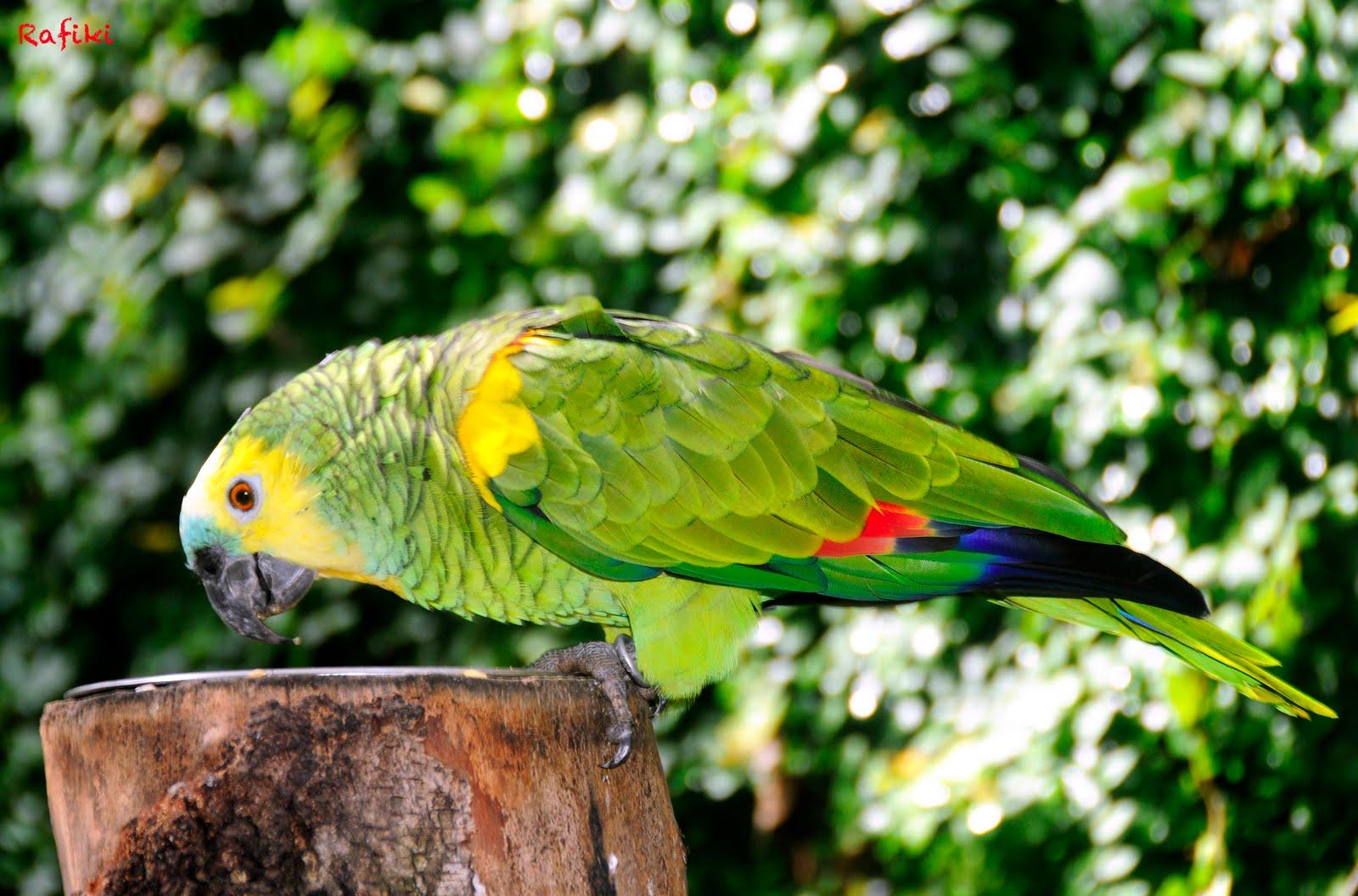 Amazona aestiva aestiva | Especies de Loros