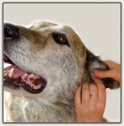 Aricular Therapy for your Pets...