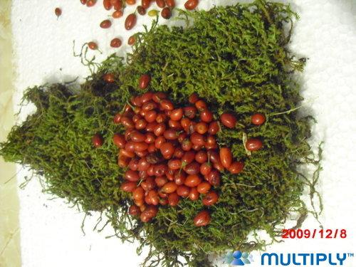 semillas de coca