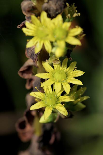 Aeonium arboreum - Flowers