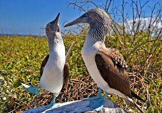 Blue Footed Boobies Mating Dance