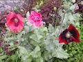 Vallmor i trädgården
