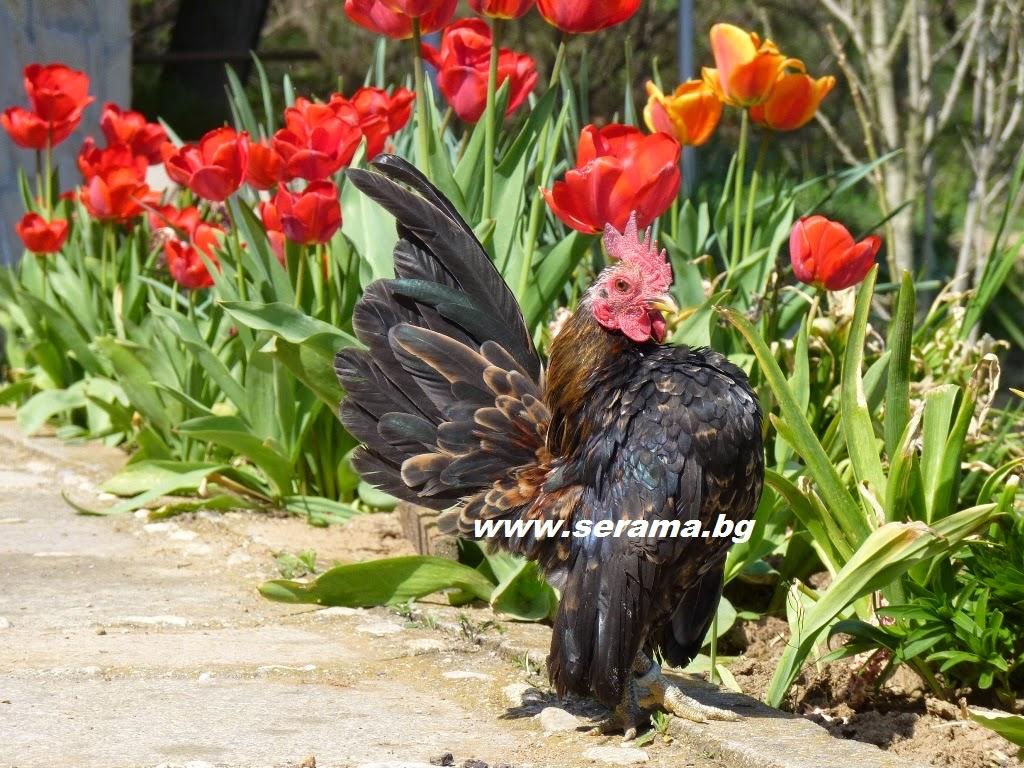 gambar hewan - foto ayam serama