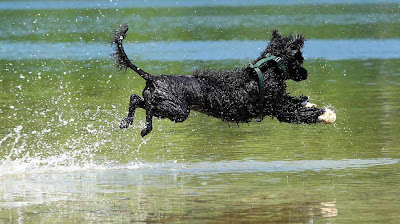 Portuguese-Water-Dog-Training-on-water