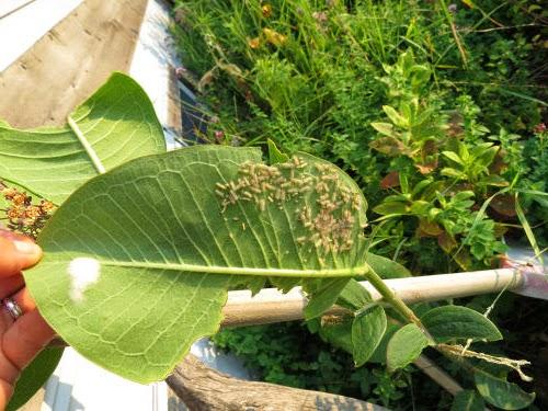 milkweed tussock moth instars