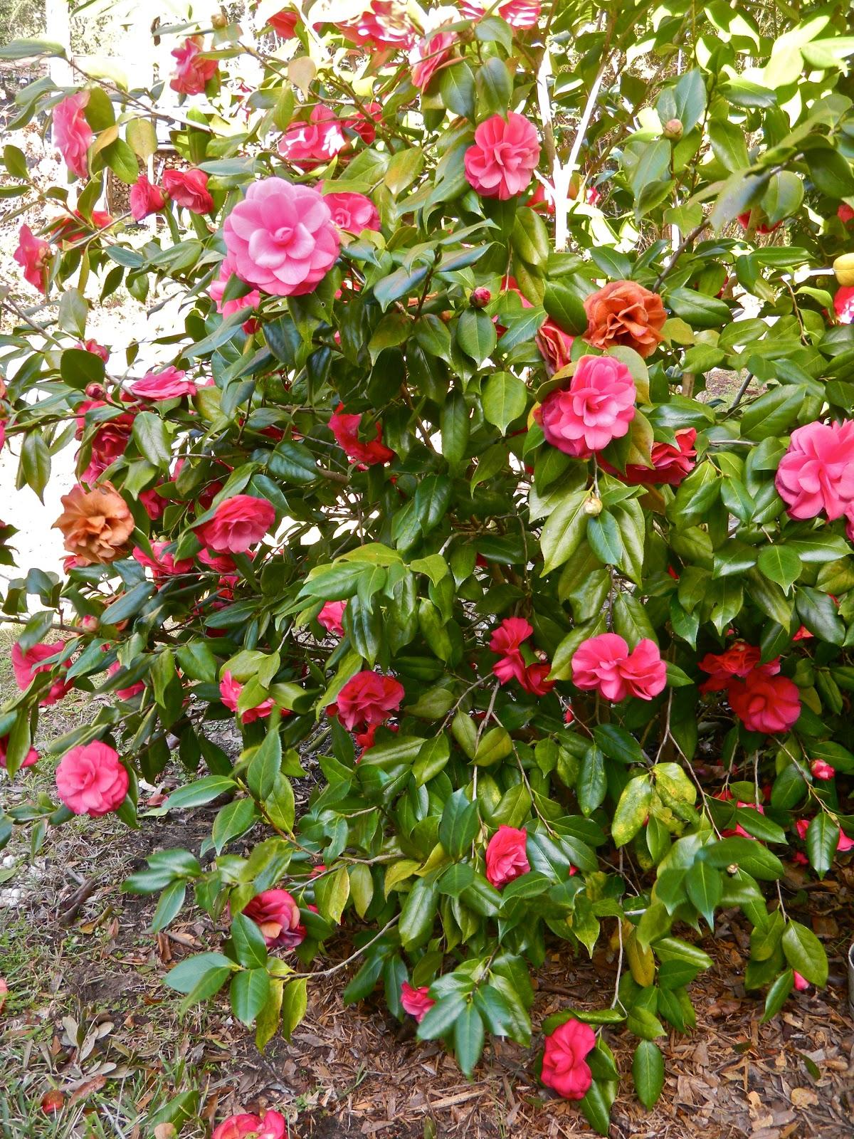the traveling gardener camellias in bloom. Black Bedroom Furniture Sets. Home Design Ideas