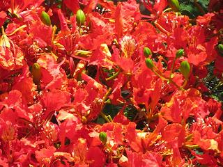 פרחי עץ הצאלון