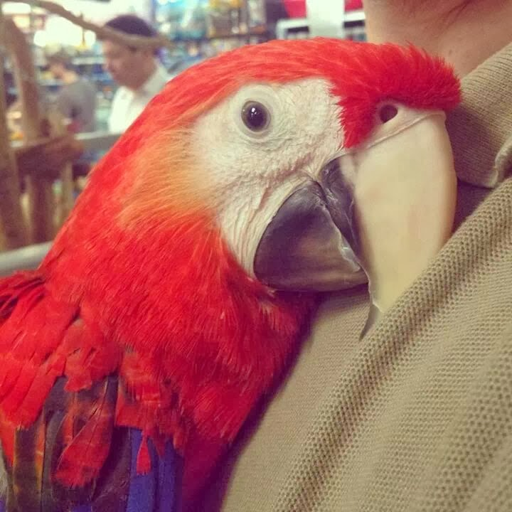 Funny animals of the week - 31 January 2014 (40 pics), parrot cuddles with human