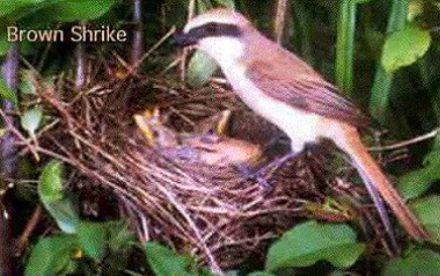 Gambar Burung Pentet | Budidaya | Informasi Budidaya