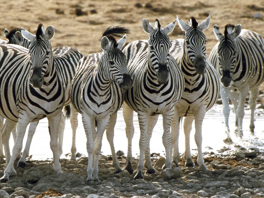 gambar kuda zebra - gambar kuda