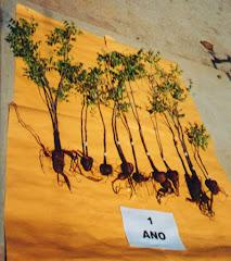 Plantas de imbuzeiro com um ano