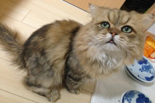 Участник фестиваля котов Фу-Чан