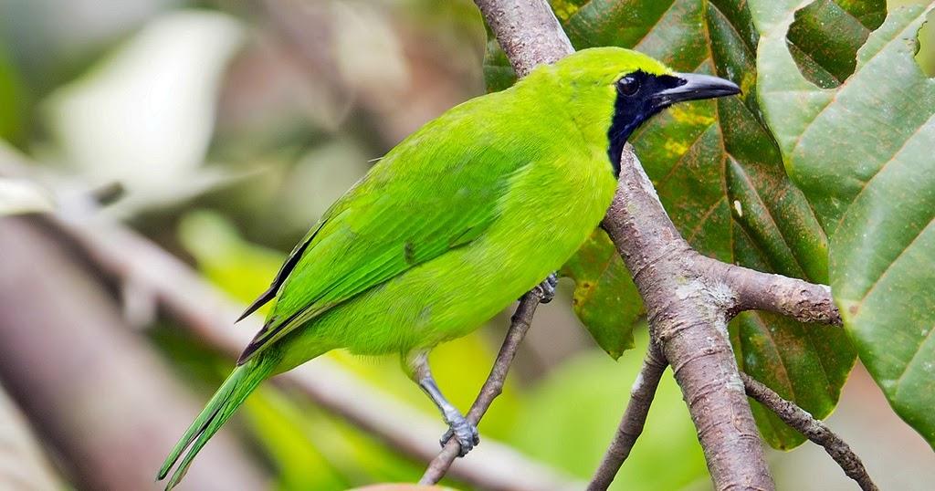 burung cucak hijau tips menangkar cucak hijau di rumah