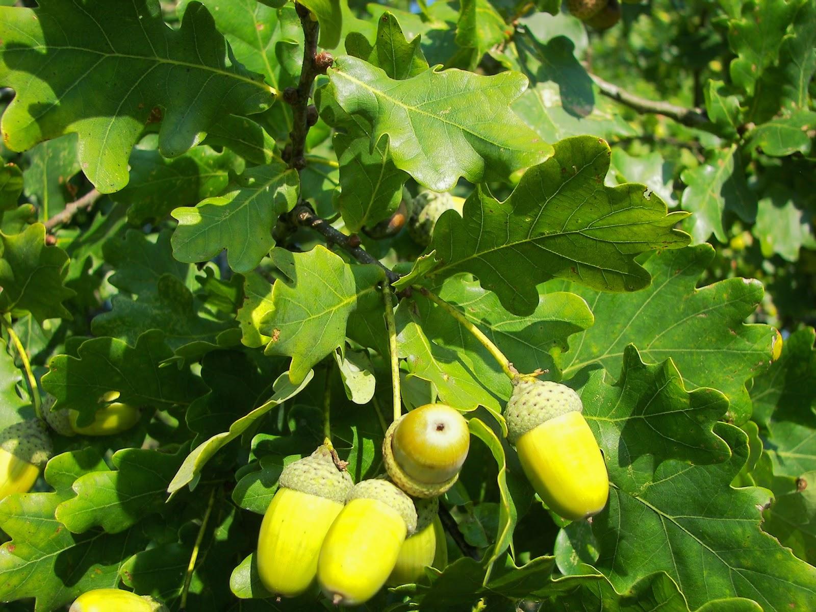 Trees planet: quercus robur pedunculate oak english oak