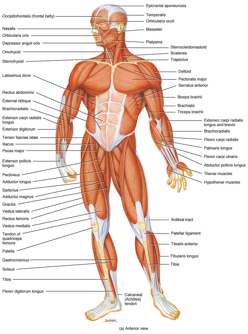 how many muscles are in the human body and how do muscles work, Human Body