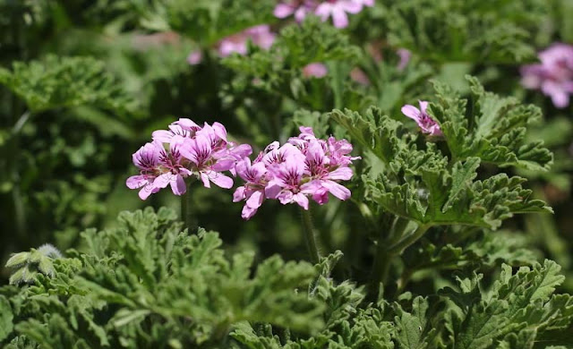 Pelargonium Graveolens Flowers Pictures