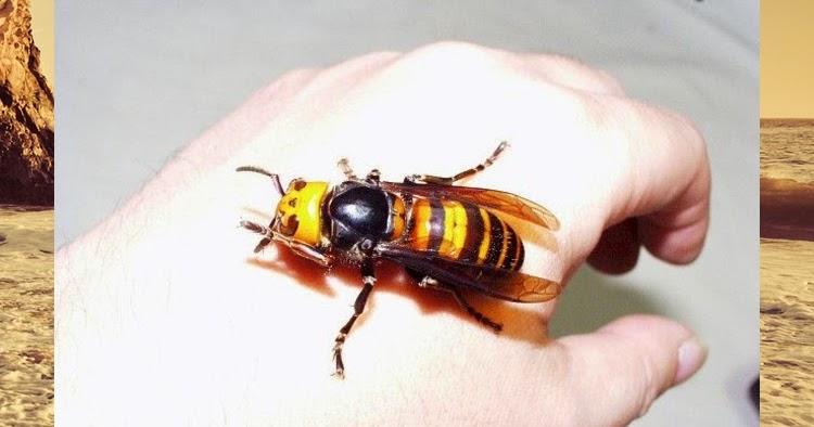 u00bfsab u00edas que   el veneno del abejorro gigante japon u00e9s es