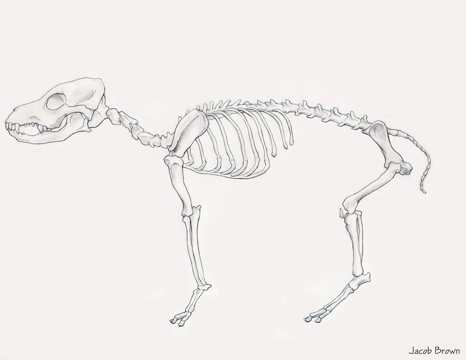 Jacob Brown\'s Animation Blog: Dog Anatomy Study - Prep for Animating ...