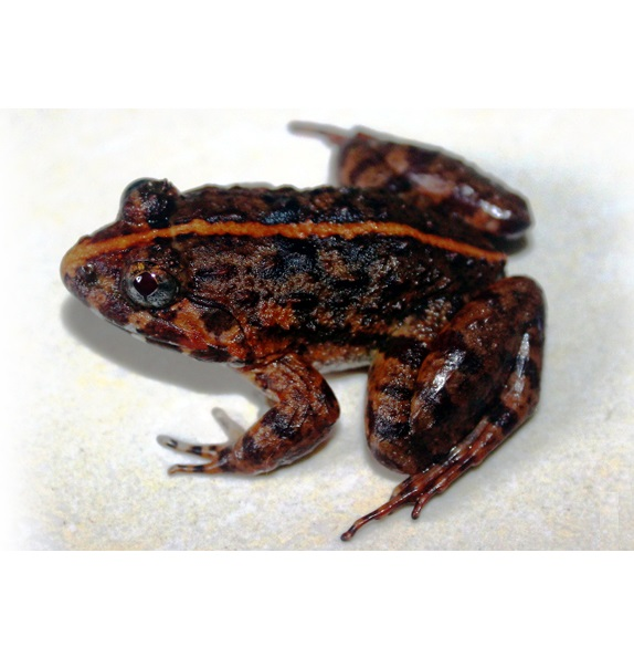 A new fork-tongued frog from Vietnam